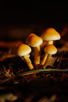 Sulphur Tuft Mushrooms